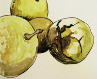 walnut-sketch1-200
