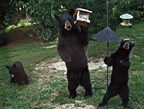 Mother-Black-Bear-and-2-Cubs-in-Neighborhood