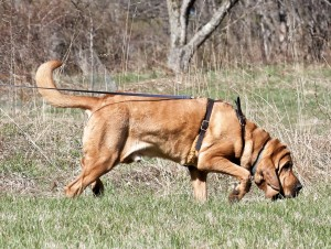 A bloodhound in harness at work
