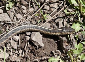 Image of garter snake