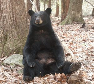 Image of sitting black bear